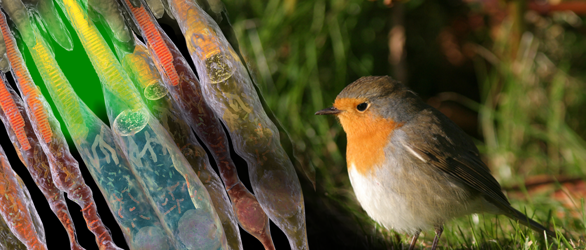 Collage featuring a European robin and double-cone cells.