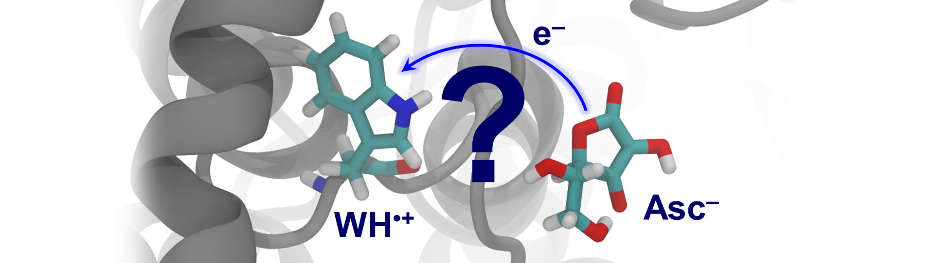 Can ascorbate transfer an electron to the tryptophan radical?