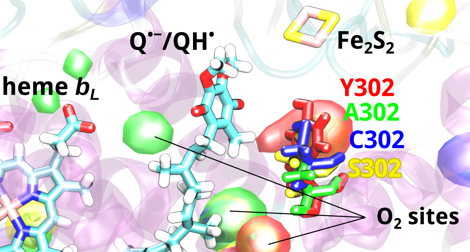 Different binding sites for oxygen molecules at the Qo-site of the cytochrome bc1 complex, as the tyrosine Y302 is mutated to alanine, cysteine or serine
