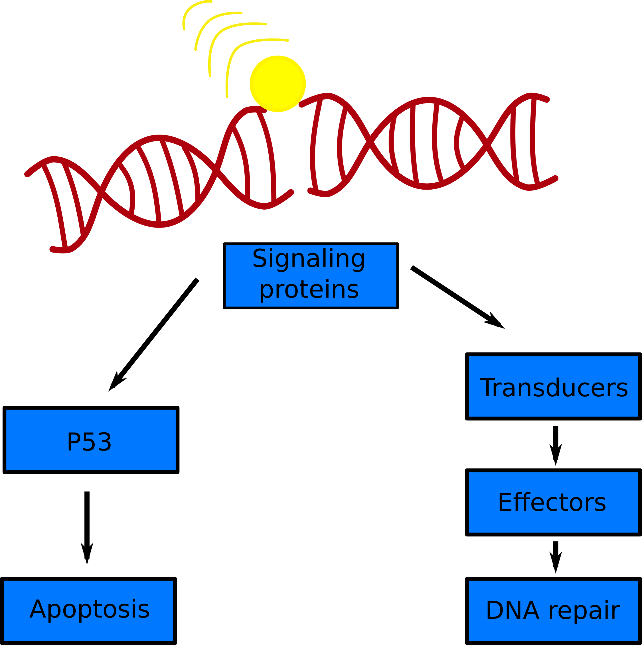 A simple schematic of the DNA damage response to a double strand break.